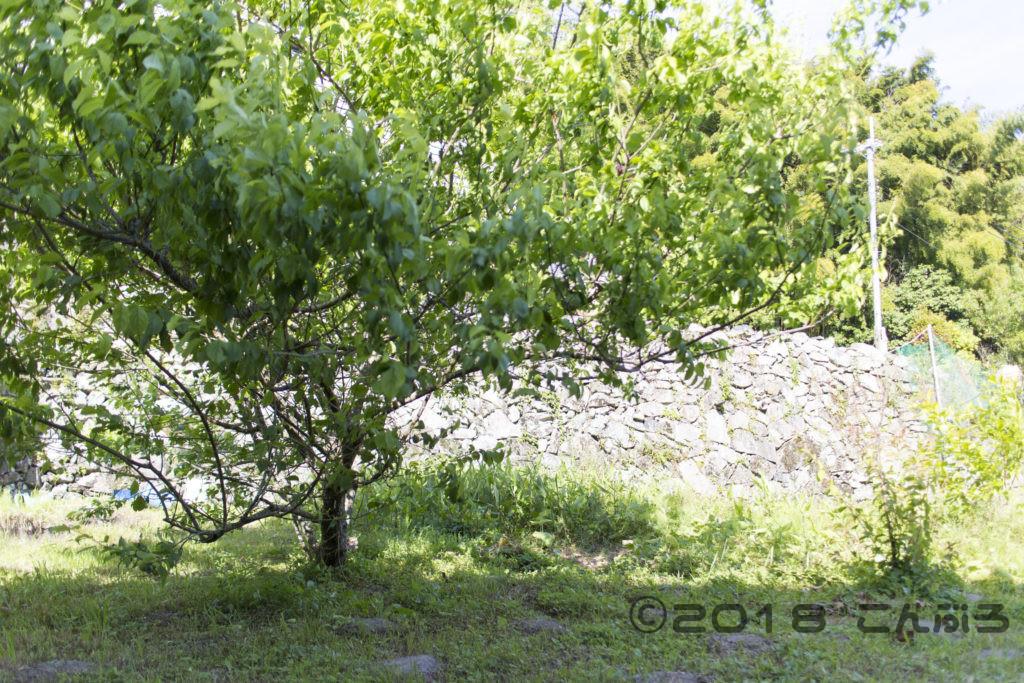 家庭菜園の梅の木