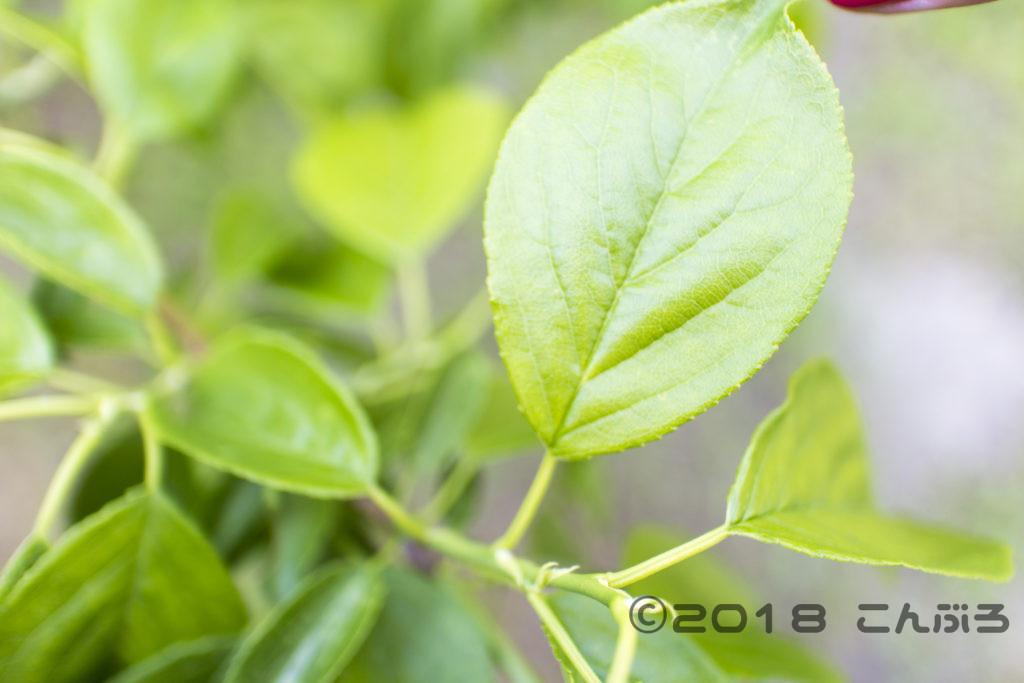 青梅の葉っぱ